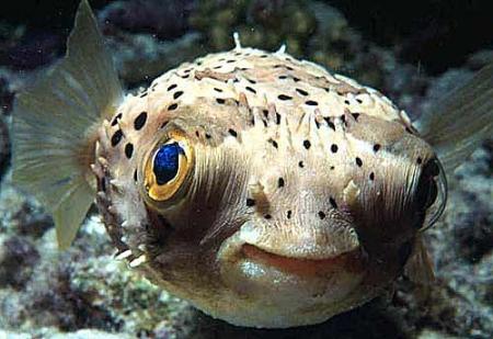 Peștele Fugu crează opere de artă pe nisip. Video!
