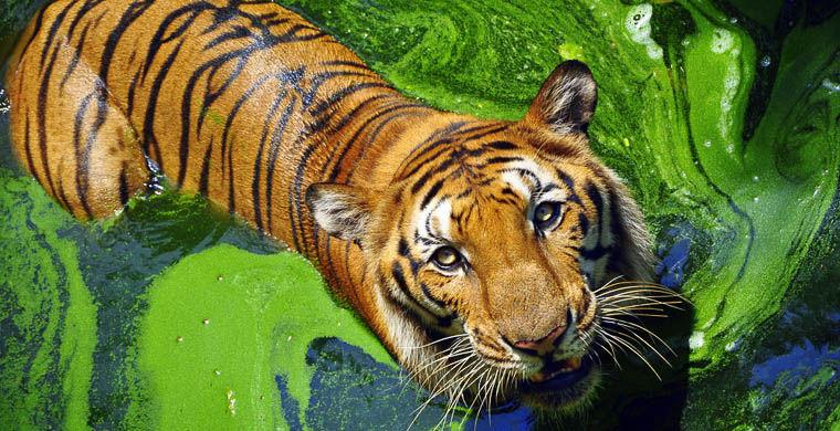Rezervații de tigri în India